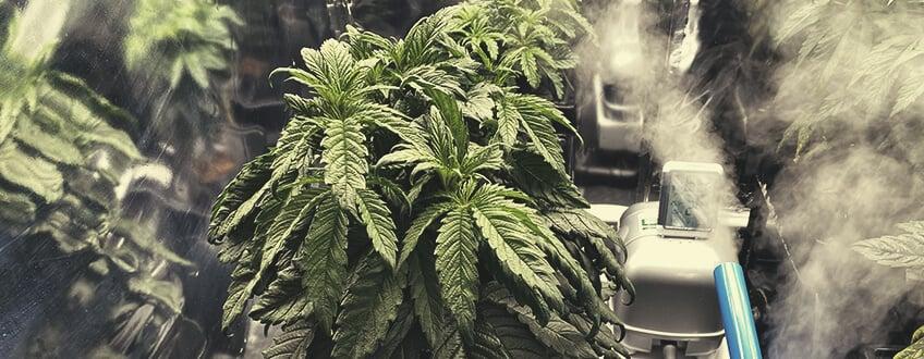 水中-大麻-植物