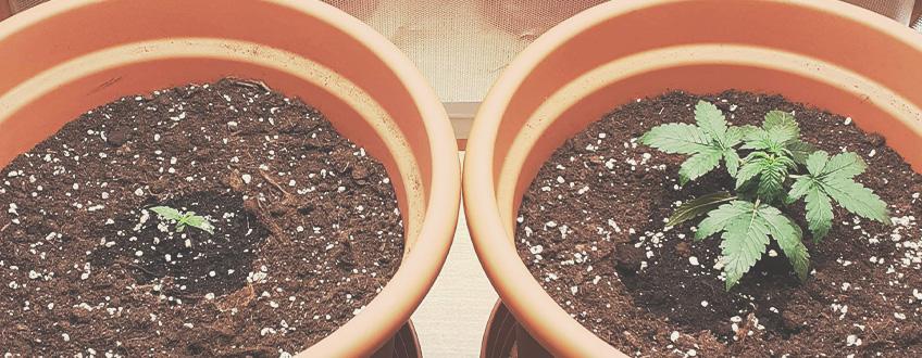 自動開花大麻植物を移植するのに最適な時期はいつですか?