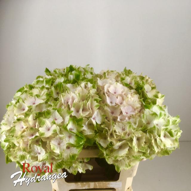 Royal Hydrangea Magical Emerald Classic