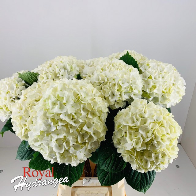 Royal Hydrangea - Magical Pearl