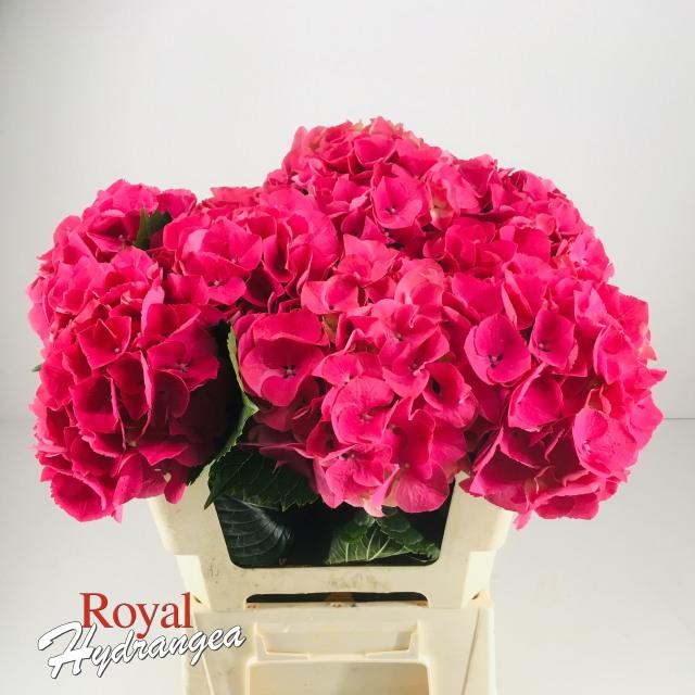 Royal Hydrangea - Magical Sibilla