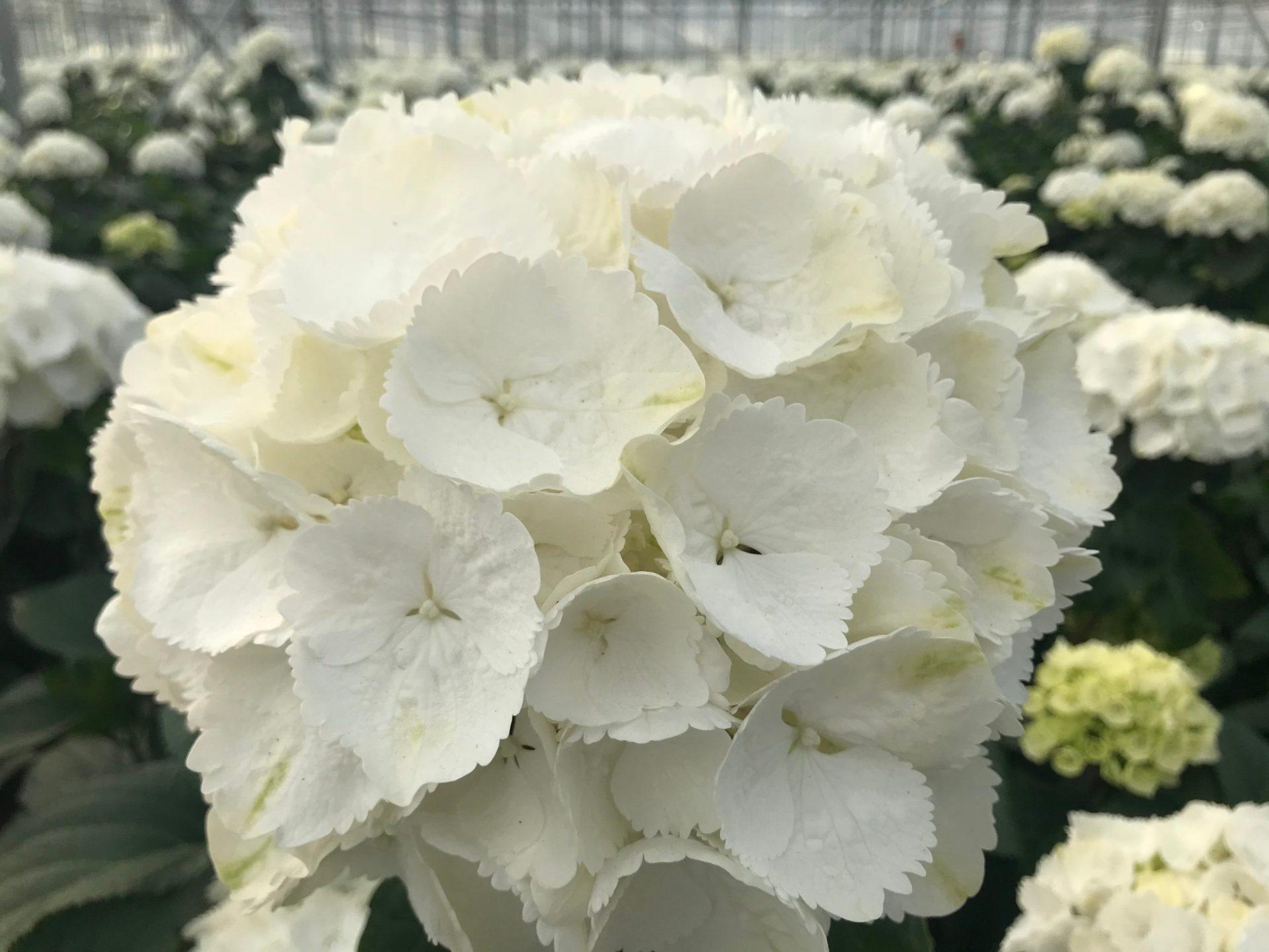 Royal Hydrangea - Snowball