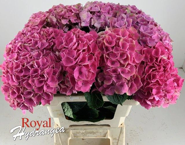 Opal - Snij Hortensia - Royal Hydrangea