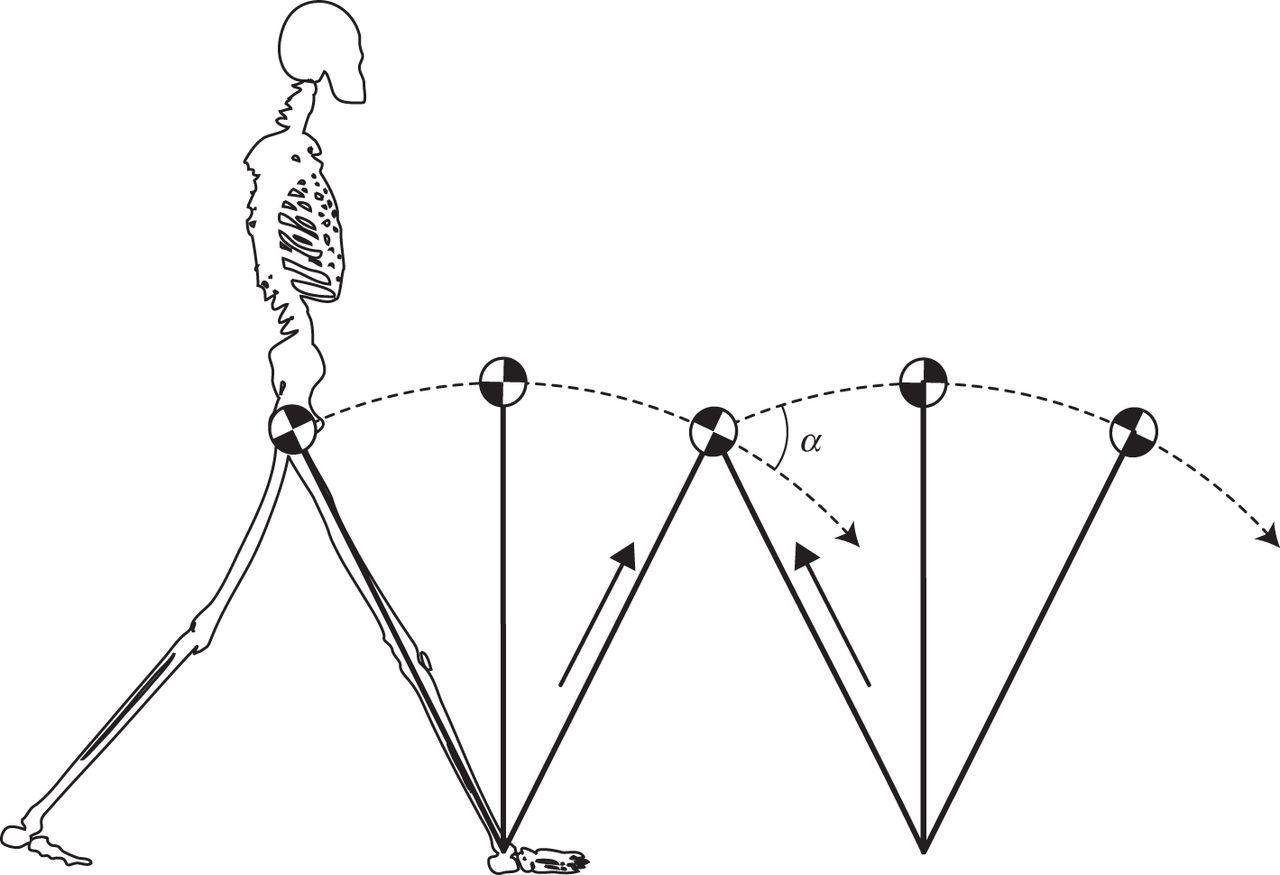 Humans Exploit The Biomechanics Of Bipedal Gait During