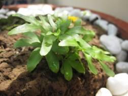 fern-like weed