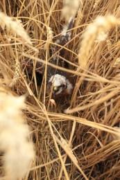Moták lužní - mládě na hnízdě