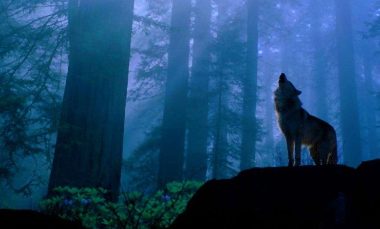Lobo uivando na floresta - Imagem do Tarrasque na Bota 07 - A mina perdida de Phandelver - Episódio 7 - Sérgio Hallwinter