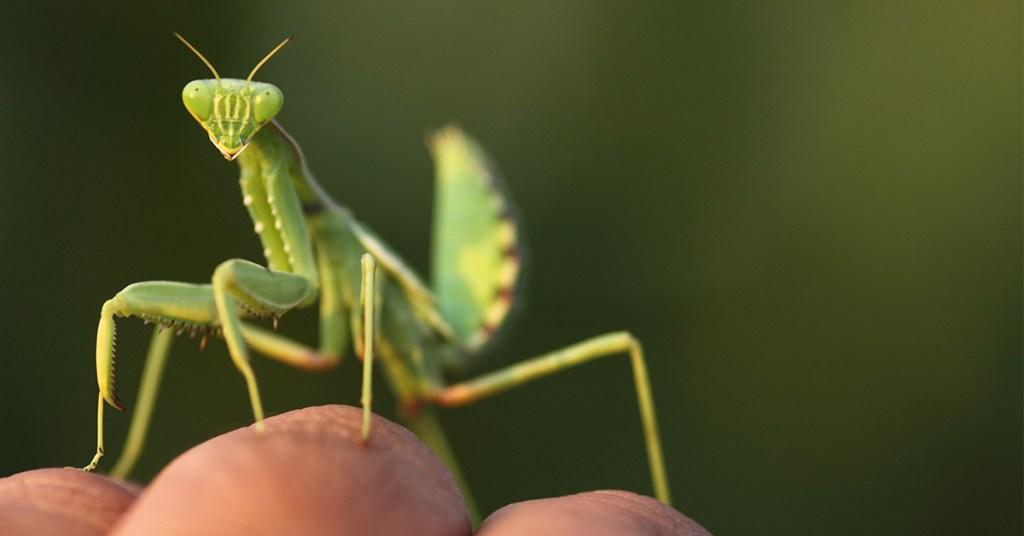 Vorm troetel-insekte 'n band met hul eienaars?