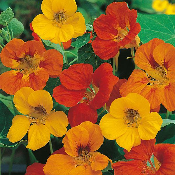 Wat bepaal blomkleure?