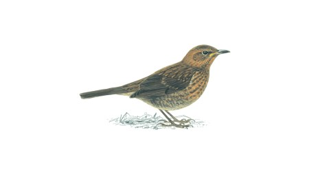 Blackbirds | Facts About Male & Female Blackbirds - The RSPB