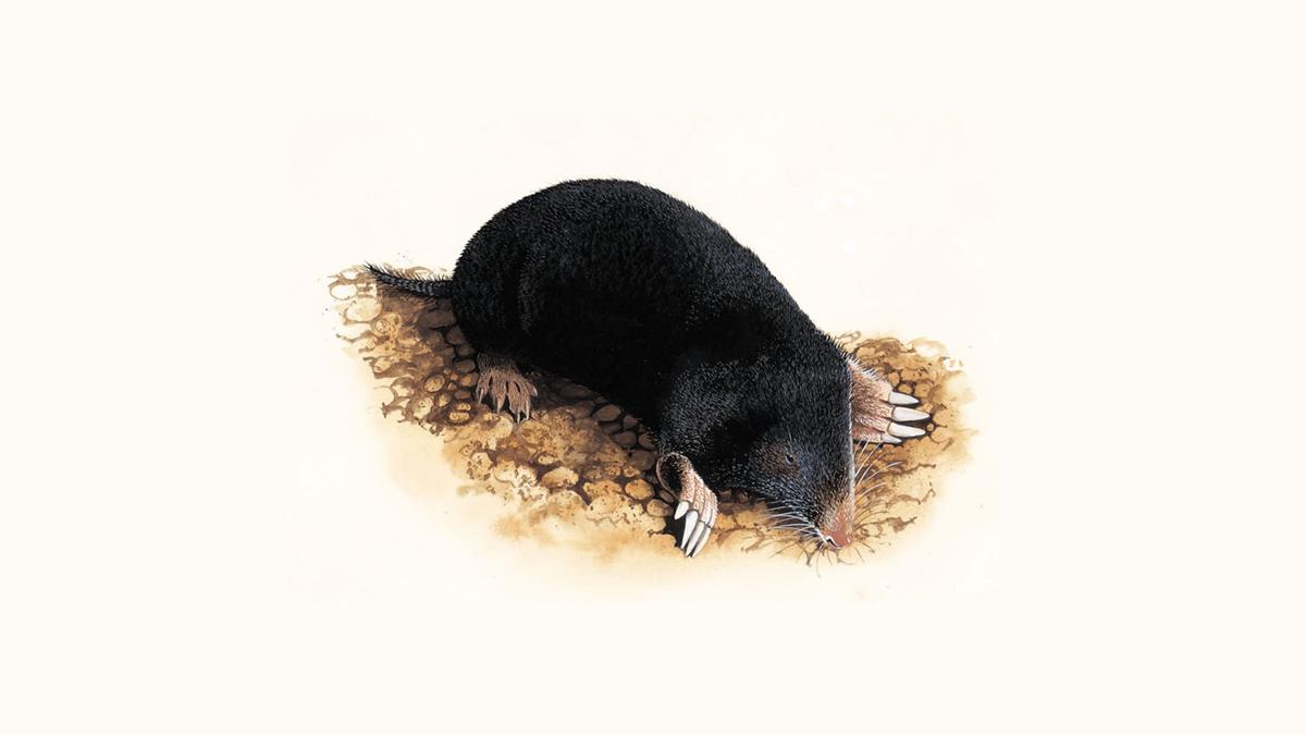 Moles What Do Moles Eat Amp Other Facts About Moles The RSPB