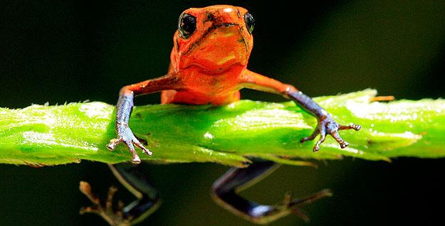 Los anfibios son una de las especies más amenazadas, como esta rana Blue Jeans Dart de la selva de Costa Rica.