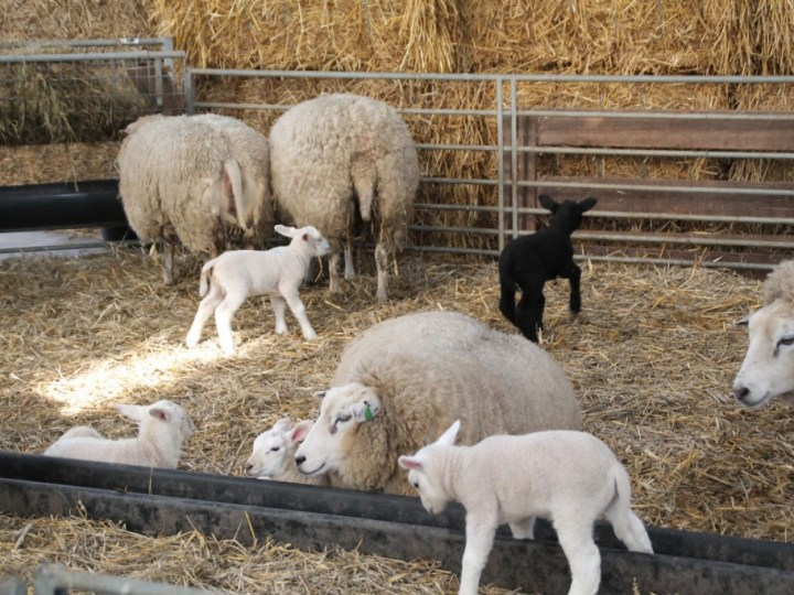Dit weekend lammetjes kijken op boerderij Zorgvrij