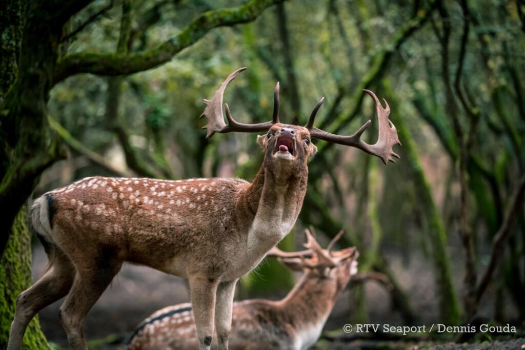 Voor een burlend hert is de liefde van korte duur