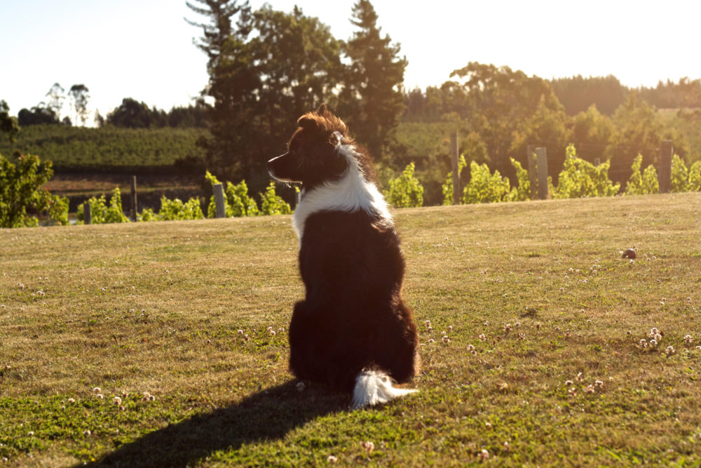 Stella the dog in Nelson New Zealand