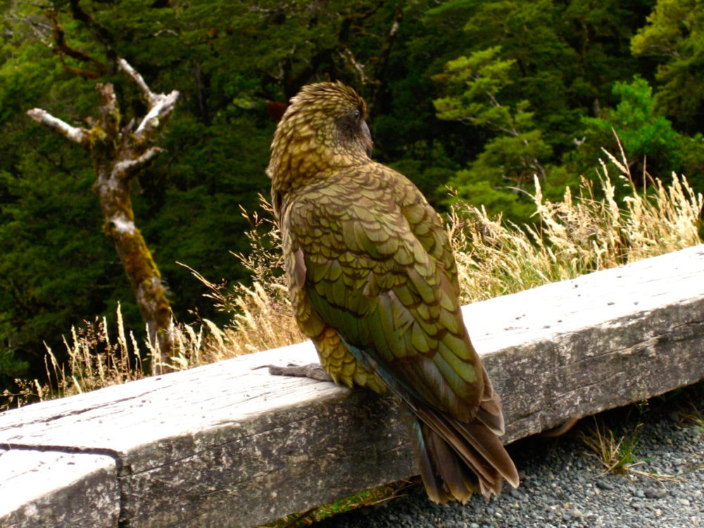 South Island Of New Zealand - Alpine Parrot