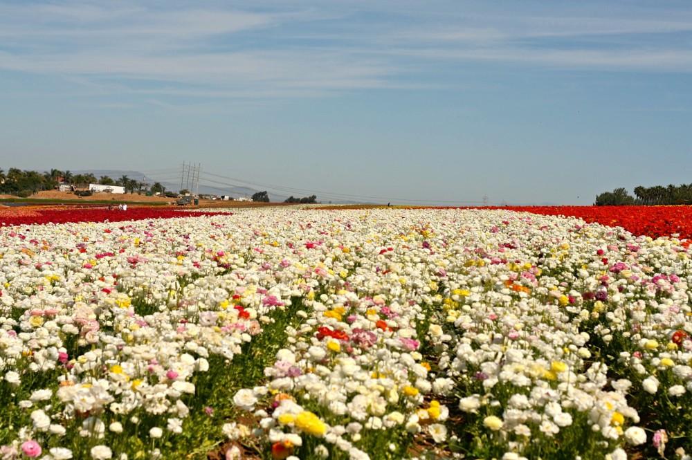 Carlsbad Flower Fields   www.rtwgirl.com