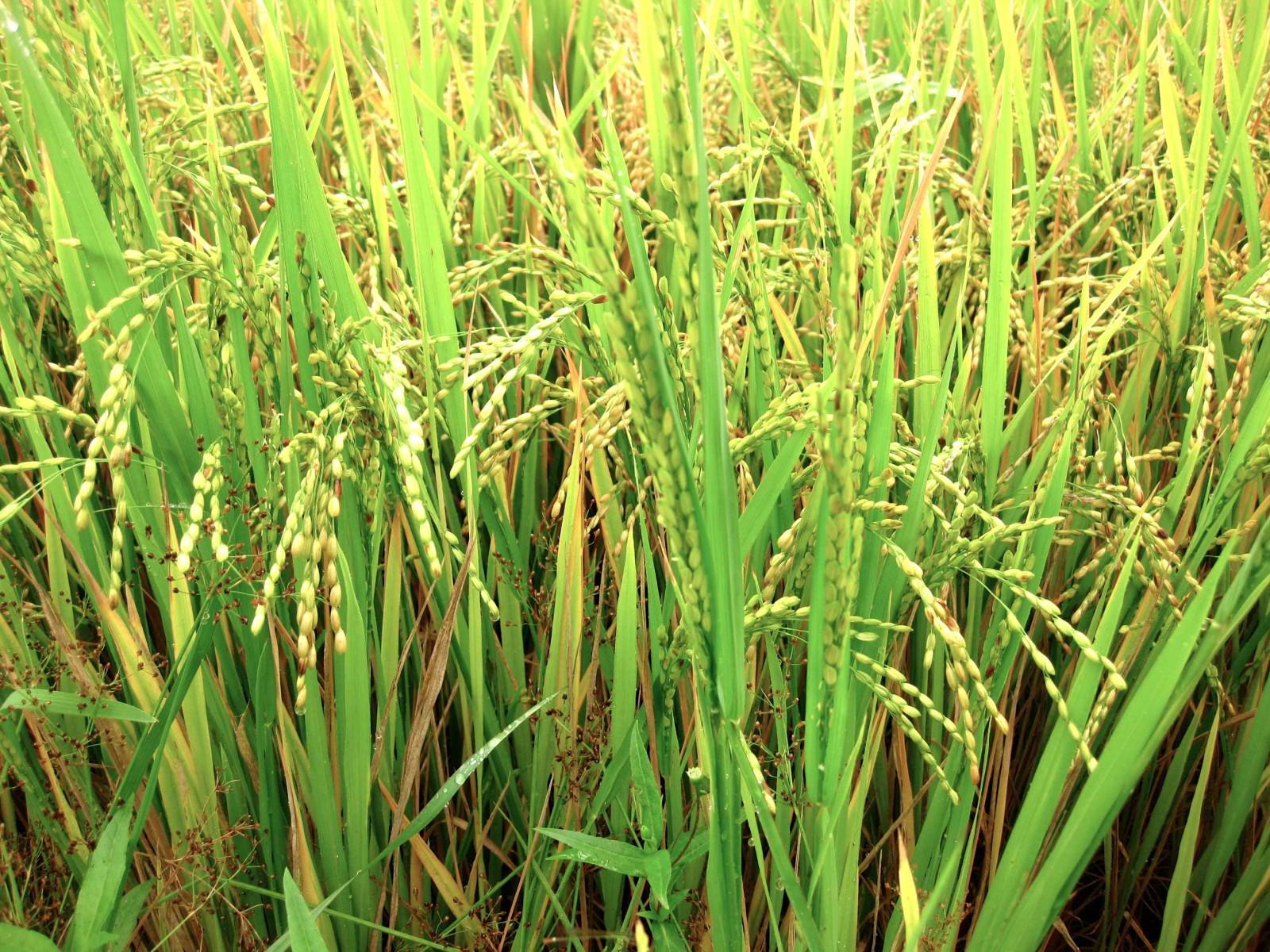 Rice Field Nha Trang Vietnam