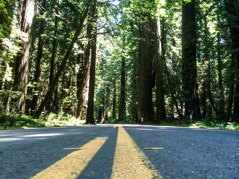 Avenue of Giants - - California Road Trip