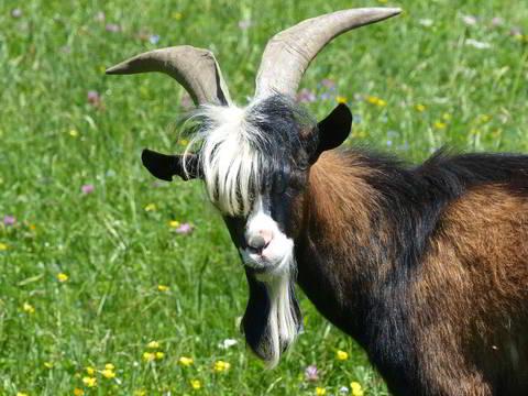 ruin-goats