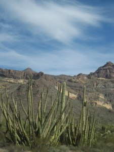 This is organ pipe cactus as seen on the Ajo Mountain van tour.