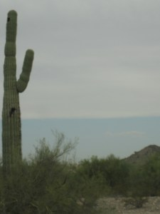 One of the few and far between saguaros at Buckeye Hills Recreation Area.