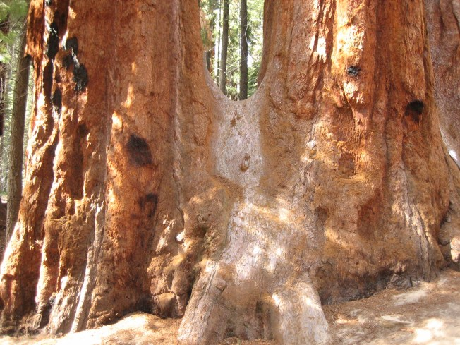 I took this photo of two giant sequoias which grew together and fused over hundreds (maybe thousands) of years.