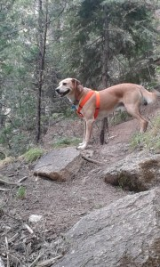 A dog in an orange harness stands among rocks and tree.