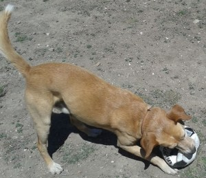 A dog plays with a popped soccer ball that's bigger than his head.