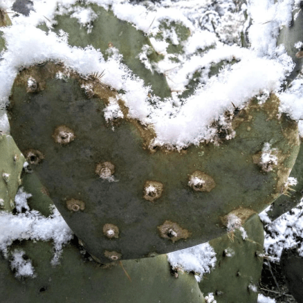 Heart shaped cactus pad with snow along the top edge