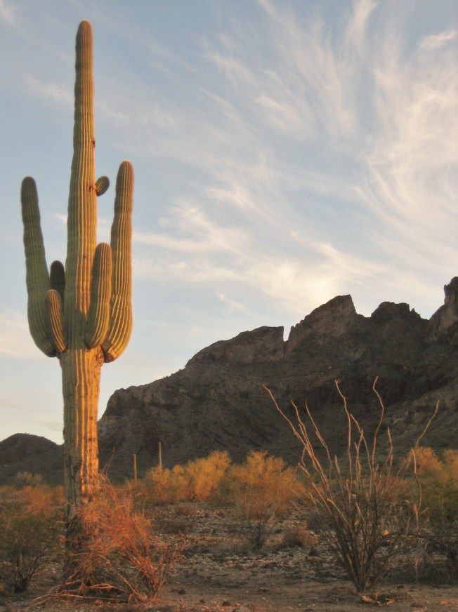Saguaro cactus with many arms stands in front of jagged mountains