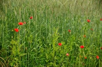 Red poppy-Vättern-Sweden