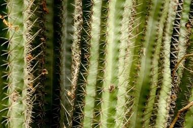 Kaktusar i Arikok, Aruba