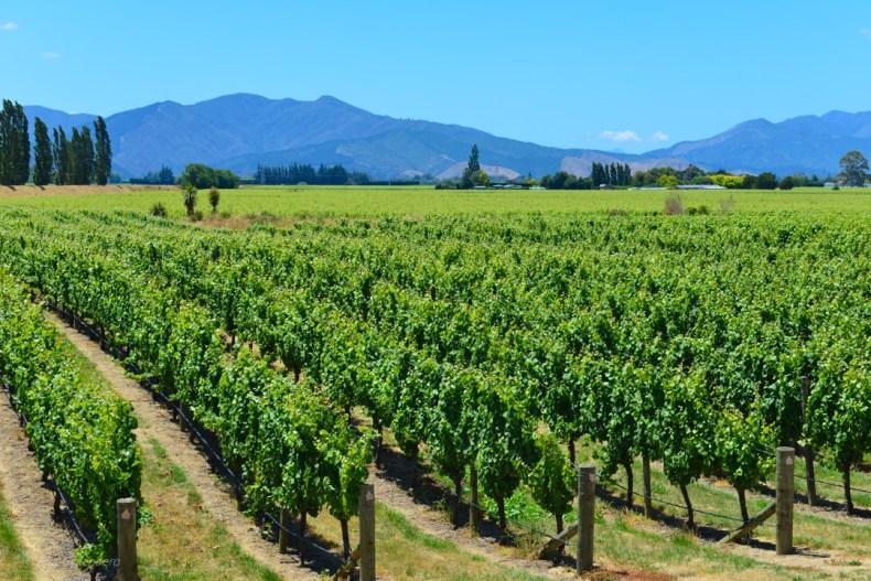 Nya-Zeeland-Marlborough-Vingard (4)