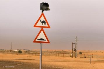 Varning för kameler - Dubai - UAE