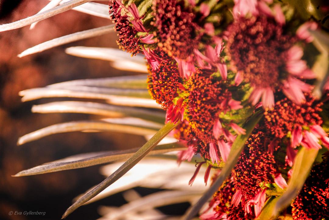 Silversword plantan, en av världens ovanligaste blommor