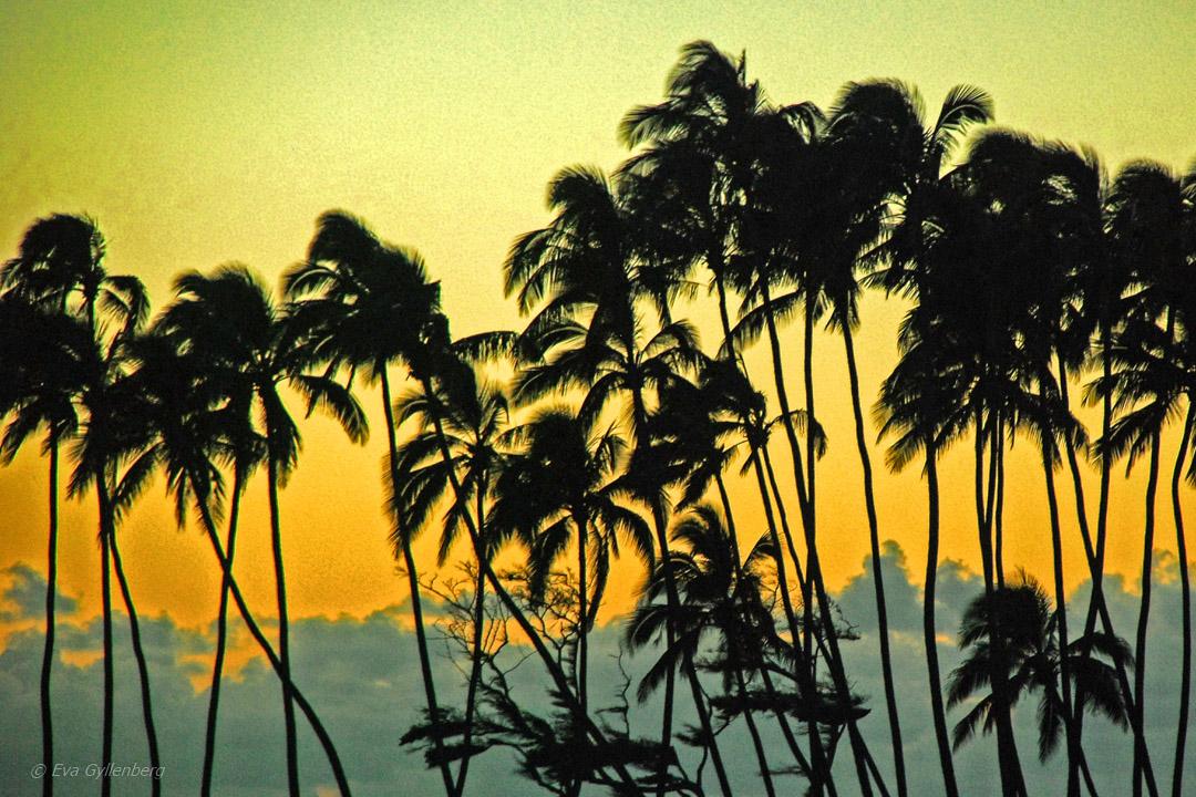 Solnedgång palmer - Road-to-Hana-Maui-Hawaii