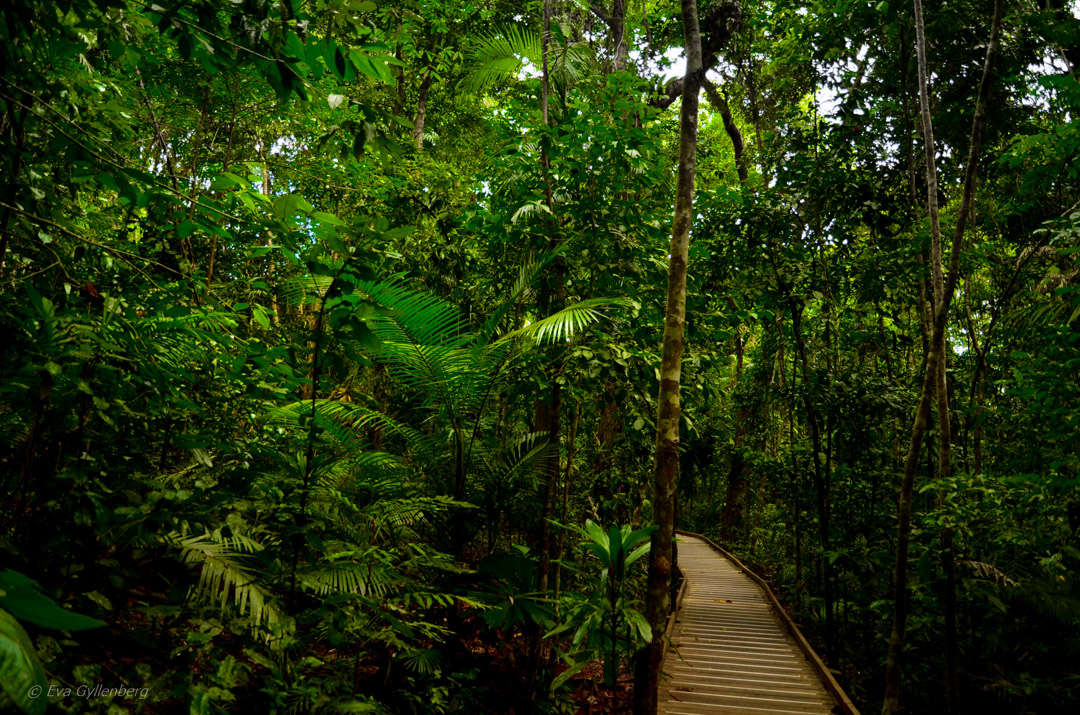 Boardwalk - Daintree-Queensland-Australien
