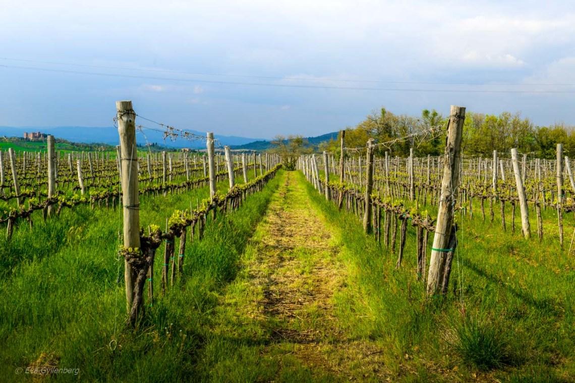 Vinrankor i Val d'Orcia - Italien