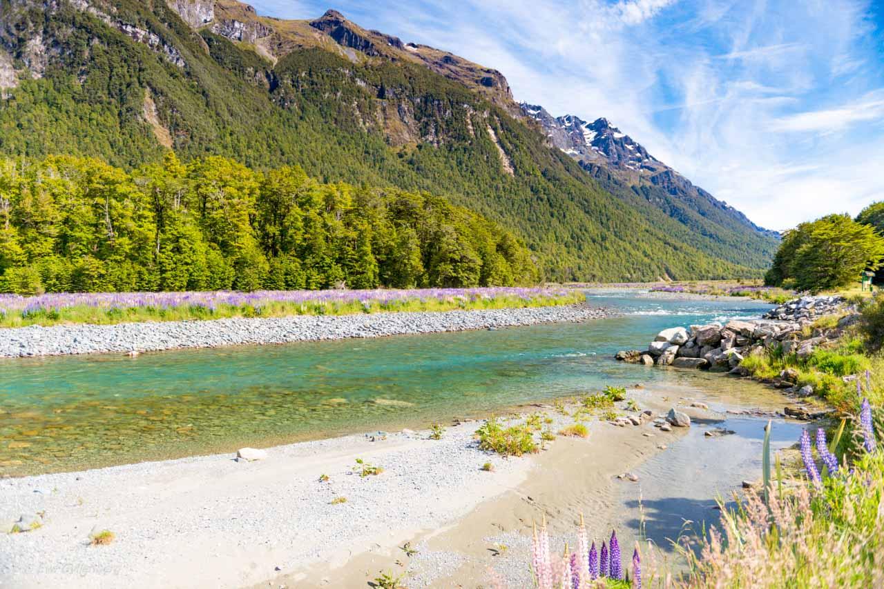 Lupiner och turkos flod på Nya Zeeland