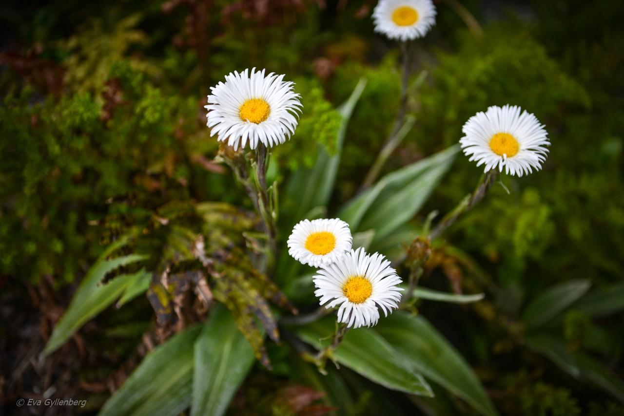 Fina blommor vid the Chasm