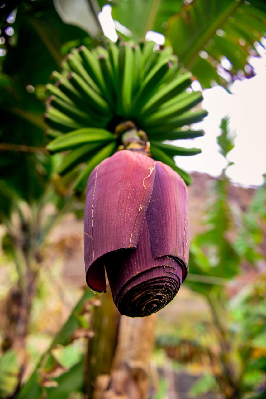 Bananblomma vid Faja Dos Padres