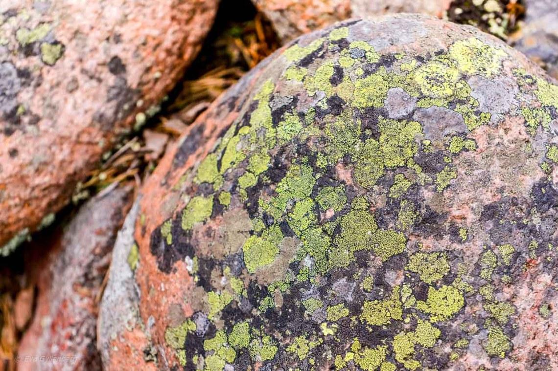 Map lichen on cobblestone field