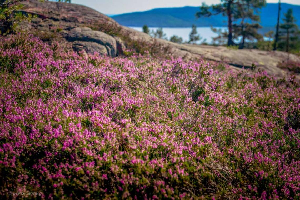 Heather grove in Skuleskogen