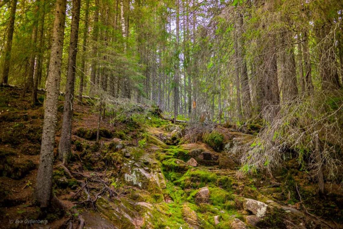 Moss in Skuleskogen