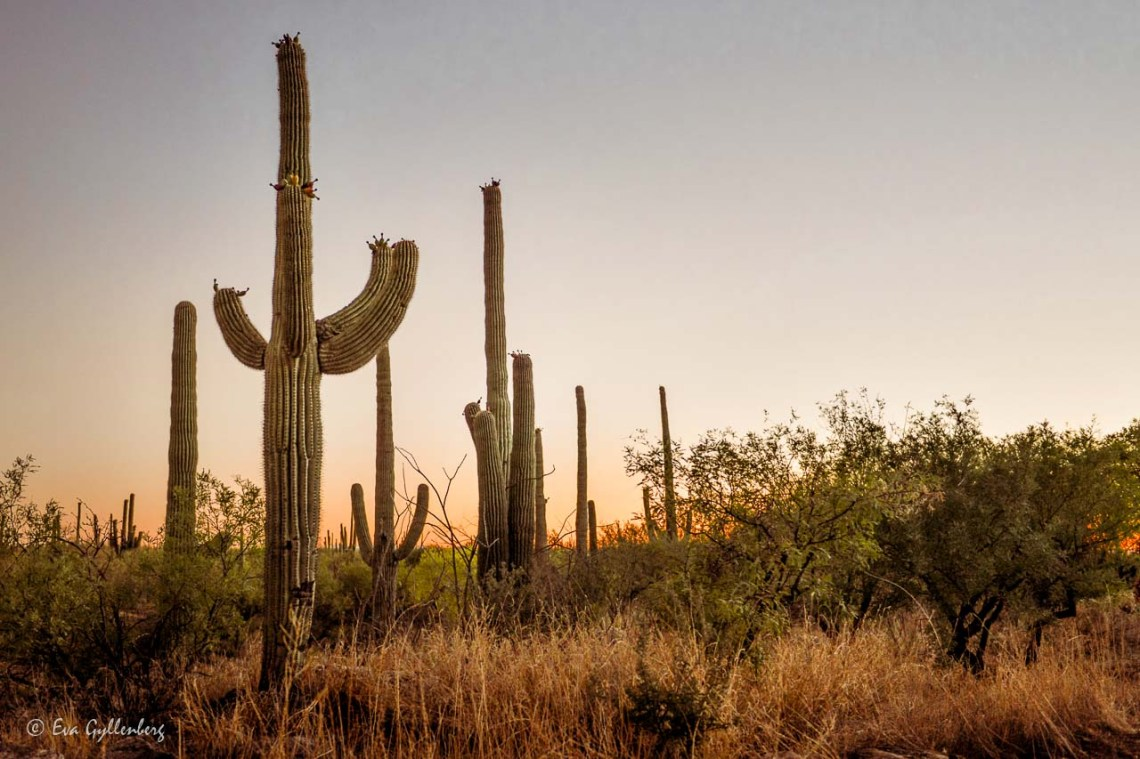 Saguaro cacti in sunset