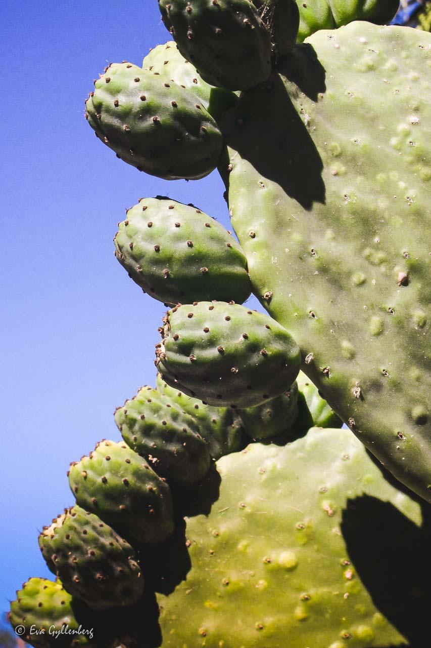 Cactus fruits on a cactus