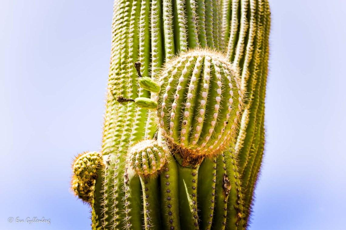 Large cactus with cactus balls