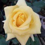 cropped-Lambang-mawar-kuning.jpg