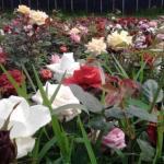 Beautiful roses 3